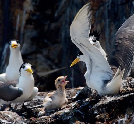 生態賞鷗馬祖列島燕鷗保護
