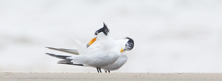 The bird of myth-the black mouth gull was discovered gain